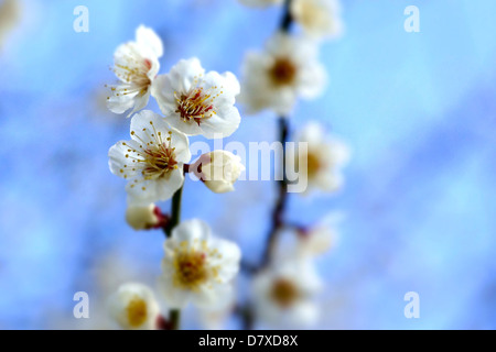 White plum blossoms, Osaka Prefecture - Stock Photo