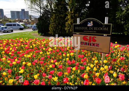 Tulips seen in full Bloom. Bristol City Council,Bristol in Bloom. - Stock Photo