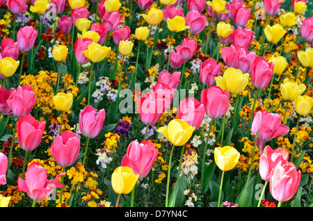 Brightly colored tulips seen in full bloom in the City of Bristol UK. - Stock Photo