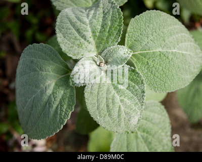 Close up photograph of fury textured green leaves. - Stock Photo