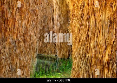 Palm trees at McCallum Pond. Coachella Valley Preserve. California - Stock Photo