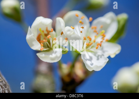 detailed picture of plum blossoms in spring with a clear blue sky in background - Stock Photo