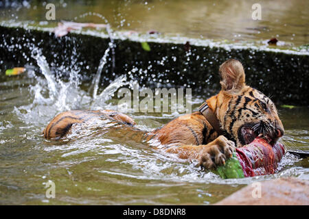 Kanchanaburi, Thailand. 26th May, 2013. Tigers are used to living in hot countries, but even the best of them can't - Stock Photo
