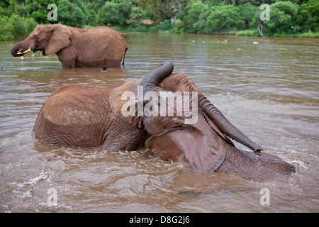 African elephant (Loxodonta africana)Young calves playing in water.South Africa - Stock Photo