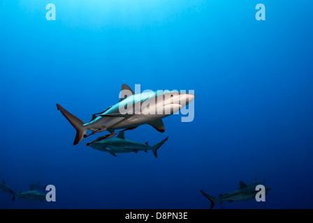 Grey Reefsharks Carcharhinus amblyrhynchos at Shark Feed North Horn, Osprey Reef, Coral Sea, Pacific Ocean, Queensland - Stock Photo