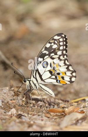 The Lime Butterfly, Papilio demoleus demoleus - Stock Photo