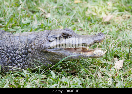 Spectacled caiman, Caiman crocodilus, Cali Zoo, Cali, Colombia - Stock Photo