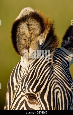 Close-up of Grevy's Zebra ear.Endangered species. - Stock Photo