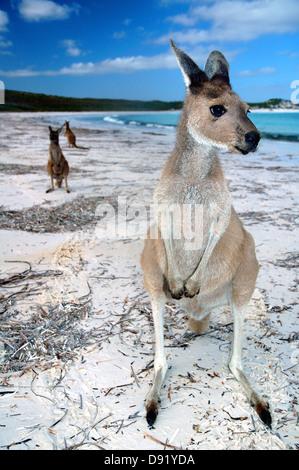 Kangaroos on the beach at Lucky Bay, Cape Le Grand National Park, near Esperance, Western Australia - Stock Photo
