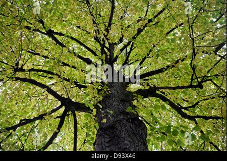 Low angle view of deciduous tree - Stockfoto
