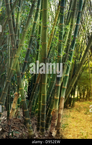 Bamboo Forest In A Sunny Day - Stock Photo
