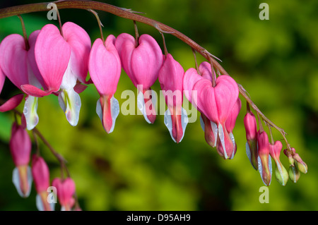 Pink flower. Lamprocapnos spectabilis (formerly Dicentra spectabilis) - Bleeding Heart in spring garden. - Stock Photo