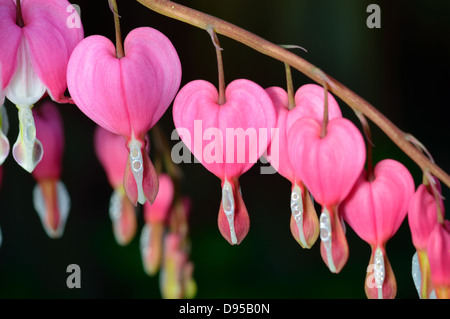 Pink flower. Lamprocapnos spectabilis (formerly Dicentra spectabilis) - Bleeding Heart in spring garden. - Stock Photo