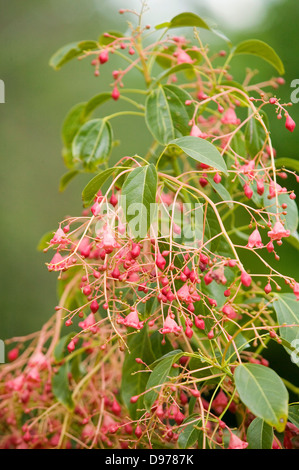 The small pink flowering buds of a native Australian Illawarra Flame tree. - Stock Photo