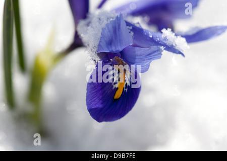 Blue dwarf iris with snow, close up - Stockfoto