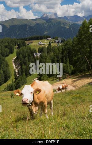 Cows grazing near the Rosengarten Mountains in the Dolomites near Canazei, Trentino-Alto Adige, Italy - Stock Photo