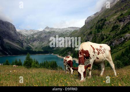 Cows grazing in the meadow above Rawyl reservoir, Valais region, Swiss Alps, western Switzerland - Stock Photo