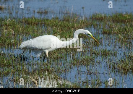 Great egret ardea alba hunting on grassy slope near for Apache mexican cuisine galveston