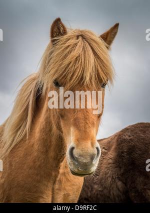Portrait of Icelandic Horse, Iceland - Stock Photo