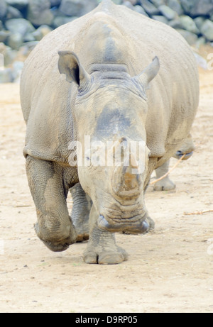 Rhinoceros charging straight at camera looking dangerous - Stock Photo