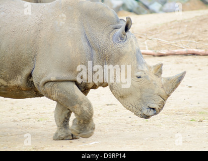Rhinoceros profile running fast or charging - Stock Photo