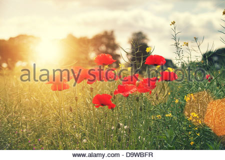 summer poppies - Stock Photo