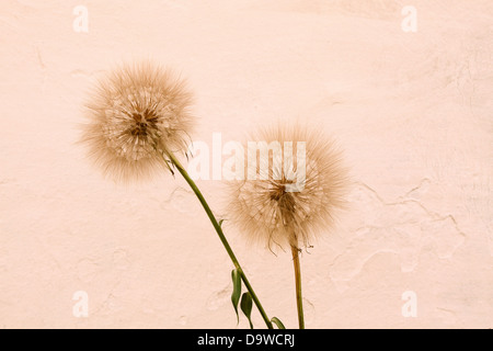 Abstract dandelion flower background, extreme close up with soft focus, beautiful nature details - Stock Photo