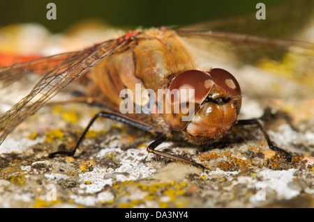 A common darter dragonfly (Sympetrum striolatum) sunbathing on a lichen encrusted rock at Capel Fleet on the Isle - Stock Photo
