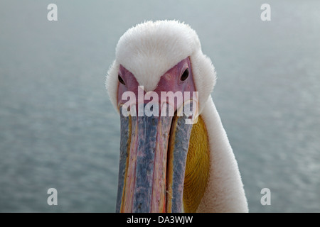 Great White Pelican, (Pelecanus onocrotalus), Walvis Bay, Namibia, Africa - Stockfoto