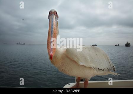 Great White Pelican, (Pelecanus onocrotalus), on Mola Mola tour boat, Walvis Bay, Namibia, Africa - Stockfoto