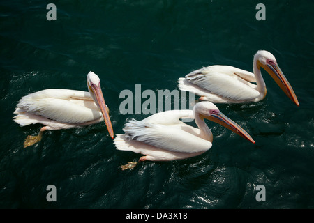 Great White Pelicans, (Pelecanus onocrotalus), Walvis Bay, Namibia, Africa - Stockfoto