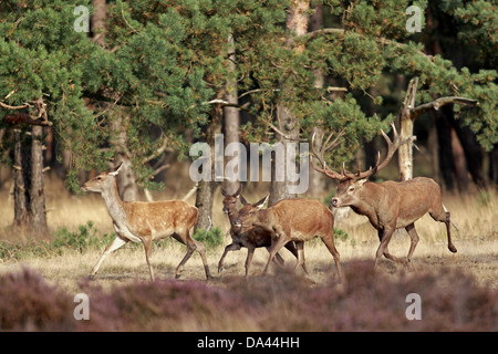 Mature male red deer Name