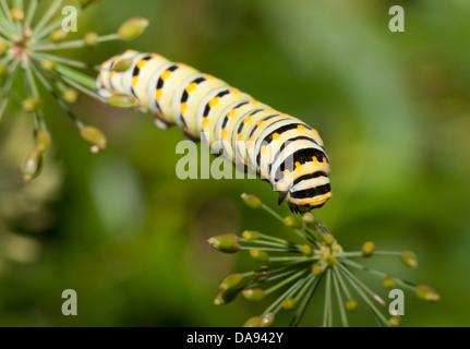 Eastern Black Swallowtail Larva Papilio Polyxenes