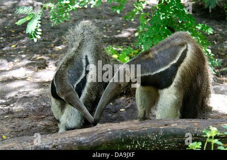 giant anteater, myrmecophaga tridactyla, anteater, animal - Stock Photo