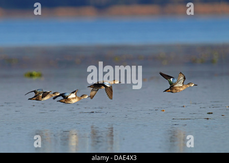 blue-winged teal (Anas discors), flying flock, USA, Florida - Stock Photo