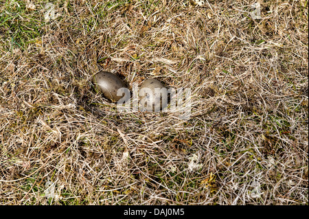 Nest of artic skua in the island Skuvoy - Stock Photo