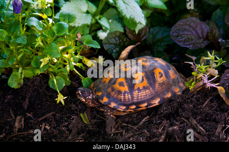 Close up of an orange Eastern Box Turtle among flowers in a garden in Monroe Twp., New Jersey, USA - Stock Photo