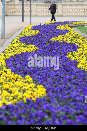Yellow and blue pansies cover the city centre in Schwerin,Germany, 06 April 2011. Spring flowers are in full force, - Stock Photo