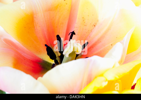 Colourful tulip flower, close up - Stock Photo