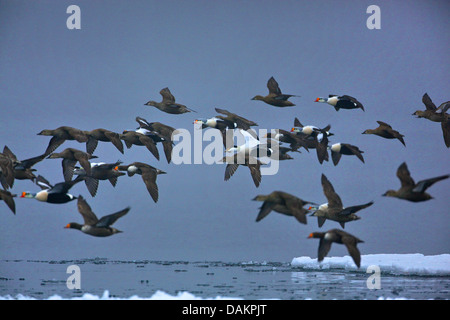 king eider (Somateria spectabilis), flock in flight, Canada, Nunavut - Stock Photo
