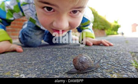 brown garden snail, brown gardensnail, common garden snail, European brown snail (Helix aspersa, Cornu aspersum, - Stock Photo