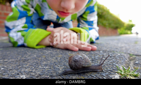 brown garden snail, brown gardensnail, common garden snail, European brown snail (Helix aspersa, Cornu aspersum, - Stock Photo