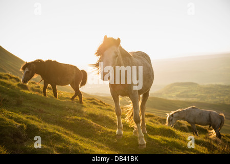 Wild Welsh Mountain Pony near Hay Bluff, Black Mountains, Brecon Beacons national park, Wales - Stock Photo