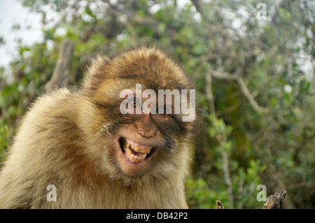 Portrait of a laughing Barbary Ape located on the Upper Rock, Gibraltar. - Stock Photo
