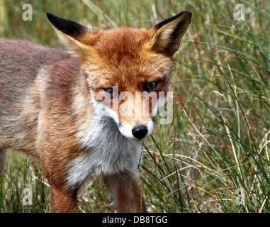 Detailed close-up of a  European red fox (vulpes vulpes) facing the camera - Stockfoto