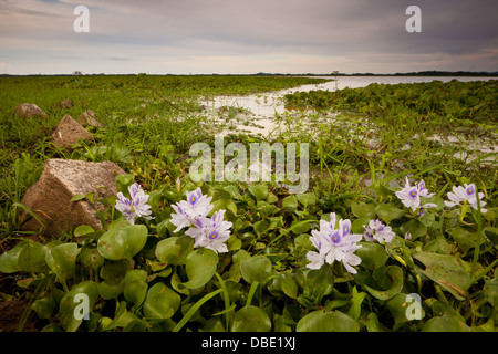Lily flowers in the wetlands Refugio de vida Silvestre Cienaga las Macanas Nature Reserve, Herrera province, Republic - Stock Photo