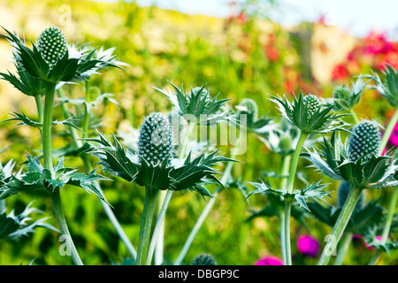 Giant sea holly eryngium giganteum apiaceae aka miss for Typical landscaping plants