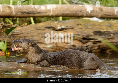 Neotropical river otter eating fish - Stock Photo