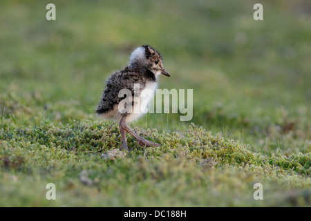 Northern Lapwing (Vanellus vanellus) juvenile, stood on grass, North Yorkshire, England - Stock Photo