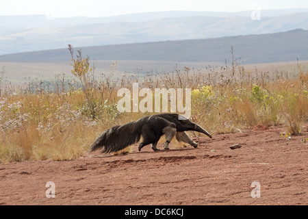 Giant Anteater, Myrmecophaga tridactyla, crossing bare rock space - Stock Photo